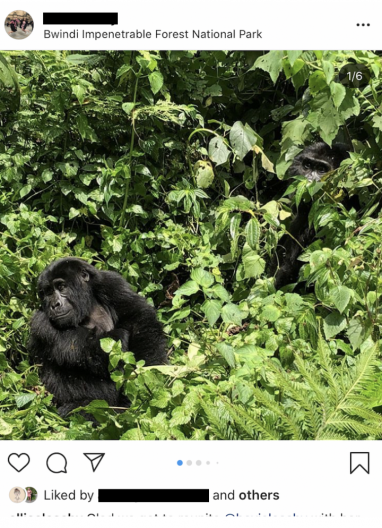 An image taken from instagram with the user's name redacted. The image shows a gorilla sitting in shrubbery with another gorilla peeking out from bushes in the background.