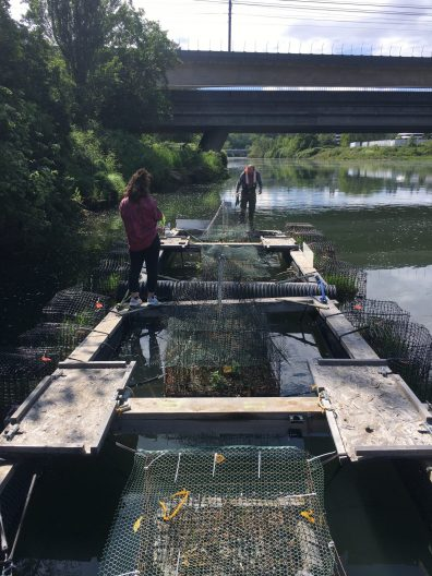 Small floating pens on the Duwamish River hold nets with wetland plants in them. There are 3 open squares in the pens and two adults wearing lifejackets walking along the edge of the float.
